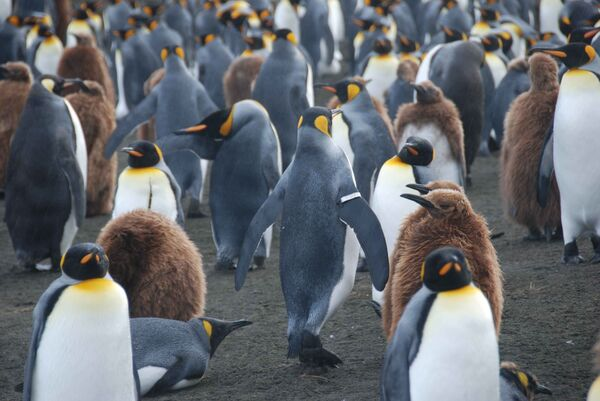 Пингвин, меченный металлической полосой, закрепленной на крыле