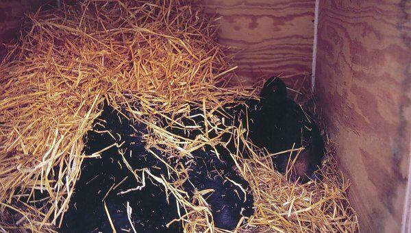 Черные медведи в искусственной берлоге во время эксперимента
