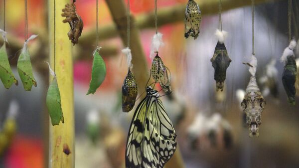 Инкубатор, где из куколок появляются бабочки