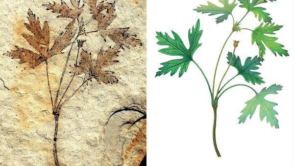 Древний родственник лютика Leefructus mirus – рисунок и фотография ископаемого