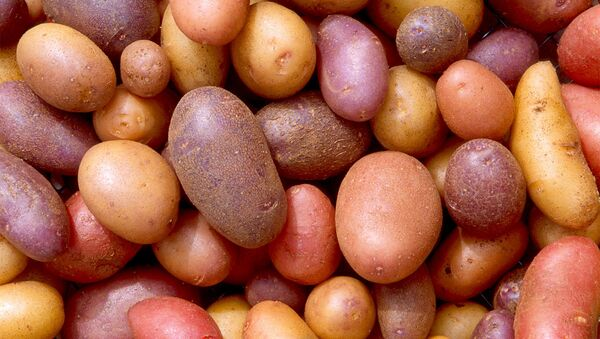 Цветной картофель, фото из архива