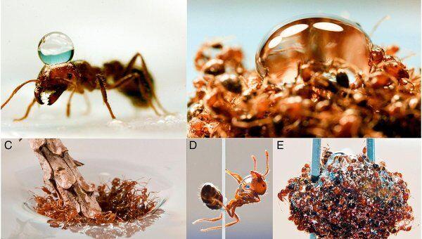 Огненные муравьи Solenopsis invicta и их живые «плоты»
