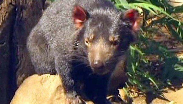 Австралийцы пытаются спасти редких тасманийских дьяволов от рака