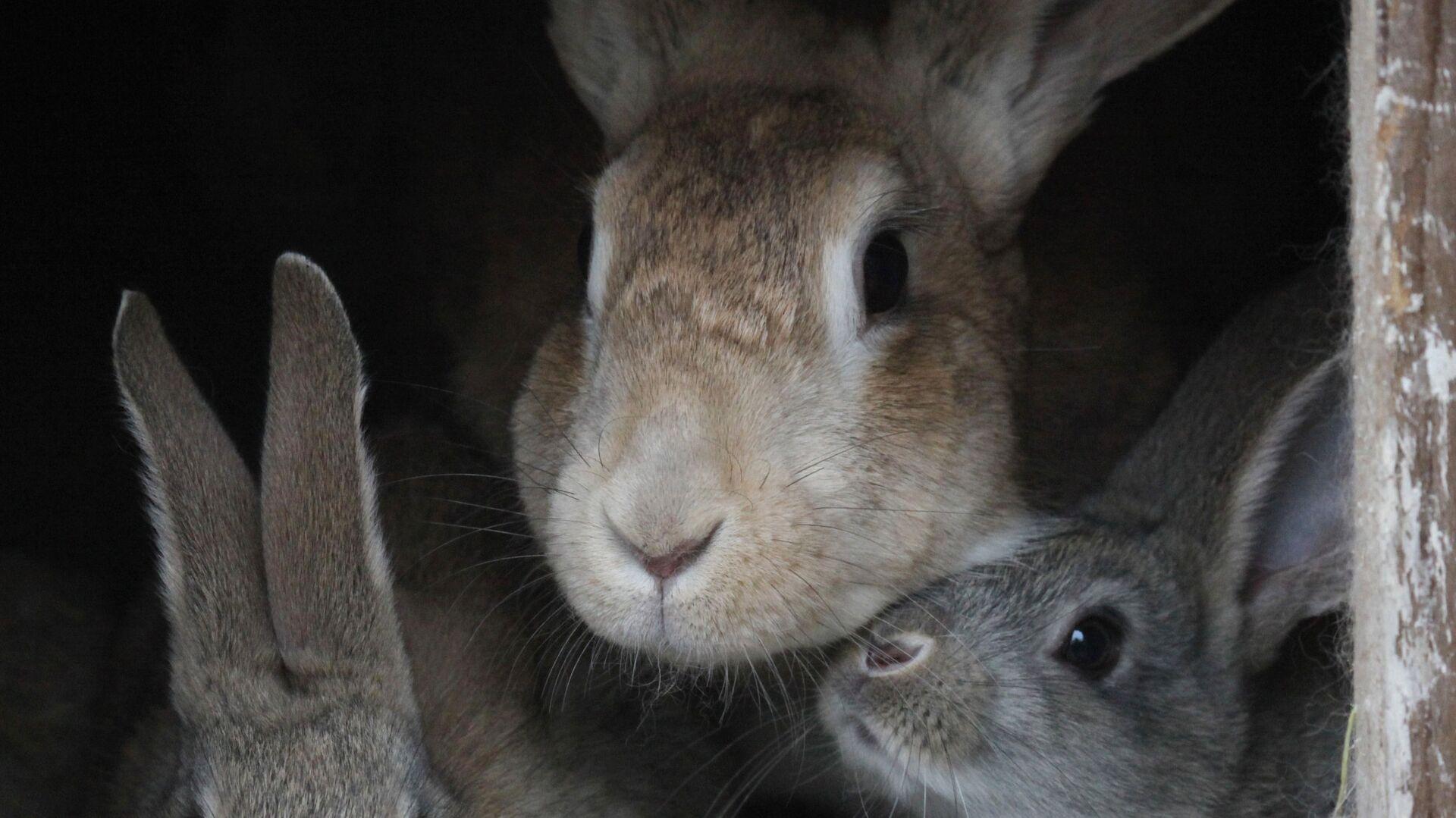 383251687 0:188:2194:1422 1920x0 80 0 0 ee8bb0349bde1997ba03f8723cfb90c0 - В Подмосковье откроют крупное предприятие по выведению кроликов