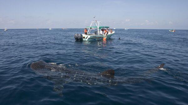 Китовая акула возле лодки с туристами в Карибском море