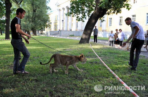 Молодую львицу два дня держат в запертом микроавтобусе на Литейном проспекте в Санкт-Петербурге