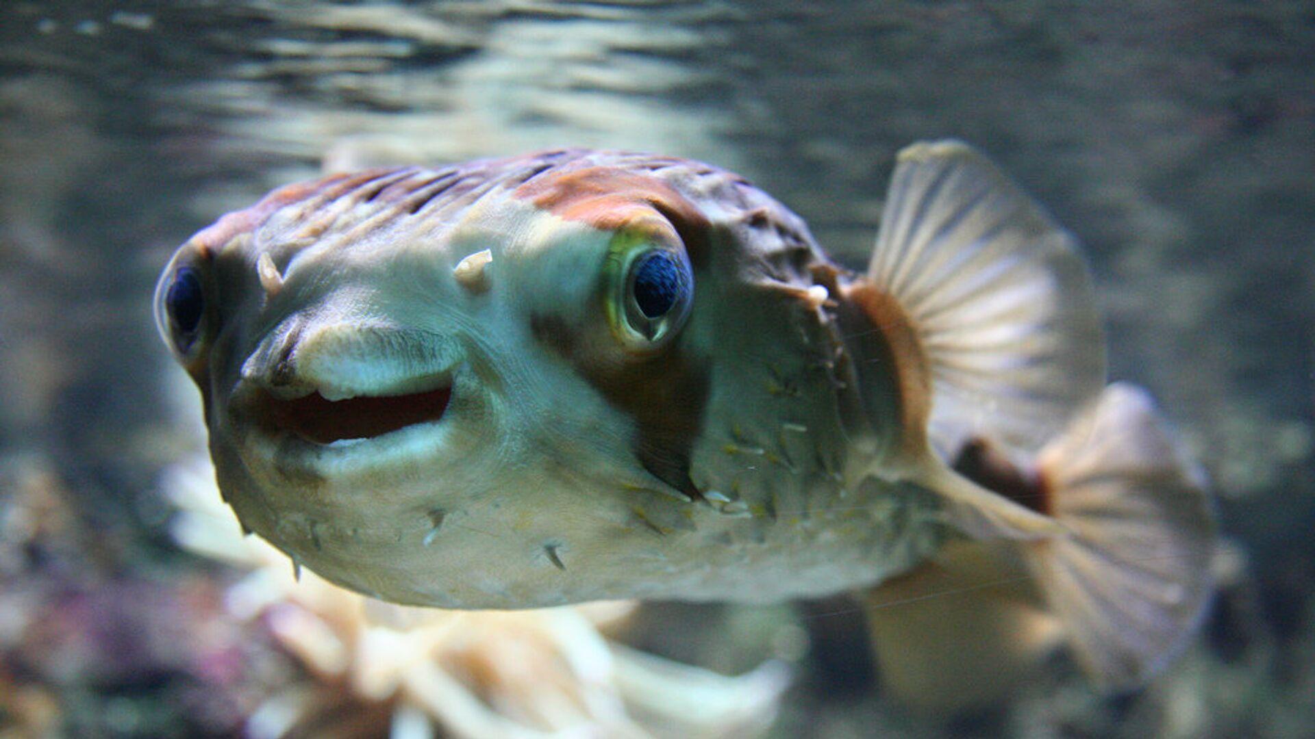 Ученый объяснил появление ядовитой рыбы фугу в Средиземном море
