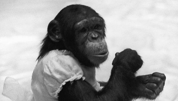 Шимпанзе. Архив