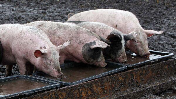 Свиньи на свиноферме в Германии