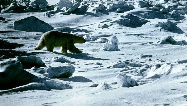 Бывает ли белый медведь зеленым? Самое интересное о полярном хищнике