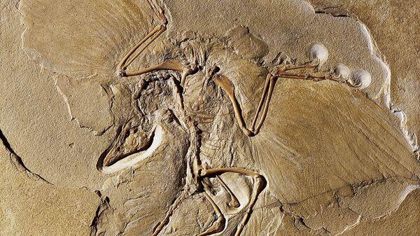 """Так называемый """"берлинский"""" скелет археоптерикса, обнаруженный в 1861 году"""