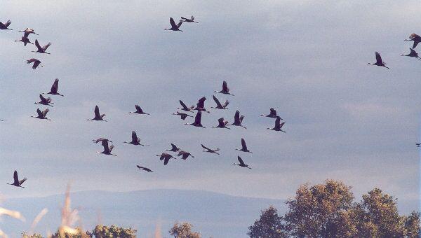 Миграция черных журавлей