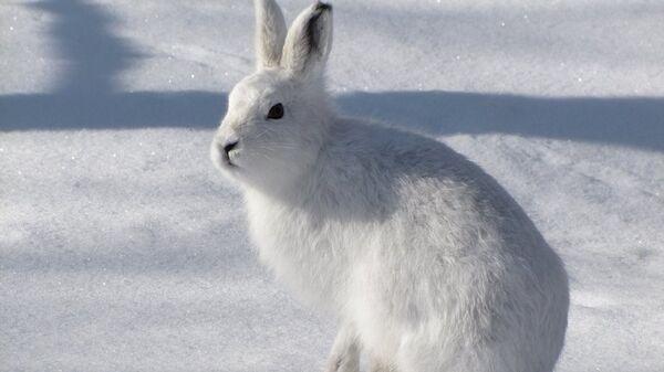 Заяц-беляк в Кроноцком заповеднике