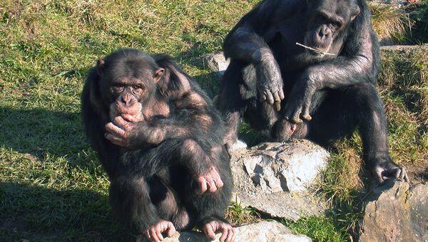 Шимпанзе-арбитры