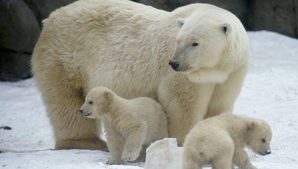 Белые медвежата с медведицей в Московском зоопарке. Архив