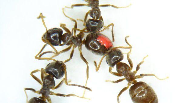 Здоровые особи съедают часть спор на теле зараженного муравья (помечен красным пятном)