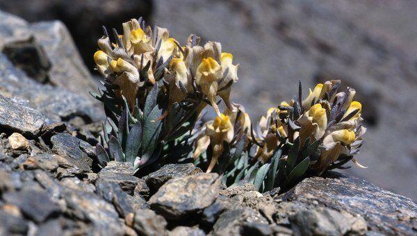 Альпийский цветок льнянка (Linaria glacialis), ареал обитания которого сокращается под давлением захватчиков с нижних склонов гор