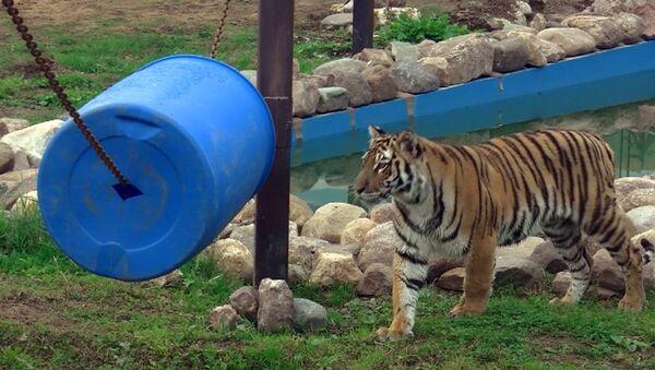 Найденный на пустыре тигр уплетает говядину и обживает новый вольер