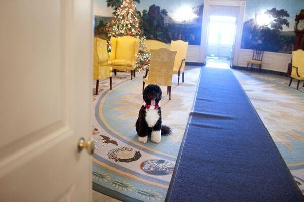 Пес Барака Обамы по кличке Бо в Голубой комнате Белого дома США
