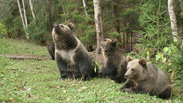 Медвежата-сироты в вольере