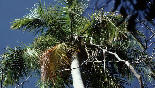 Пальма-самоубийца (Tahina Palm)