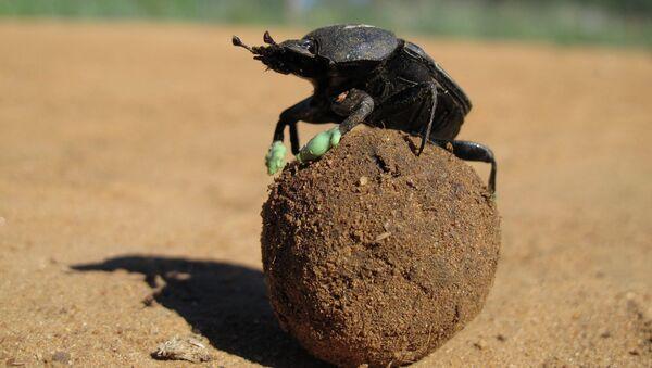 Южноафриканский скарабей с надетыми на него силиконовыми валенками, защищающими его ноги от жара пустыни