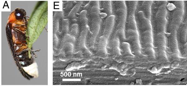 Японский светлячок и наноструктуры на поверхности его брюшка