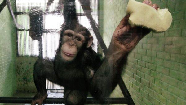 Восьмилетняя шимпанзе Анфиса в парке флоры и фауны Роев ручей в Красноярске