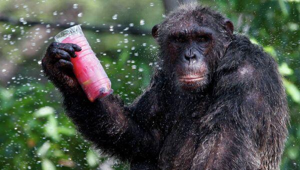 Шимпанзе в зоопарке Бангкока