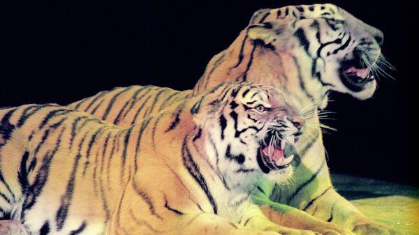 Аттракцион с сумматранскими тиграми