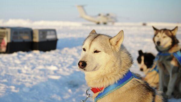 Ездовые собаки, участвующие в экспедиции Карелия – Северный Полюс – Гренландия