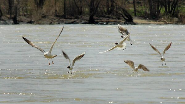 Птицы летят над водой на Оби, архивное фото