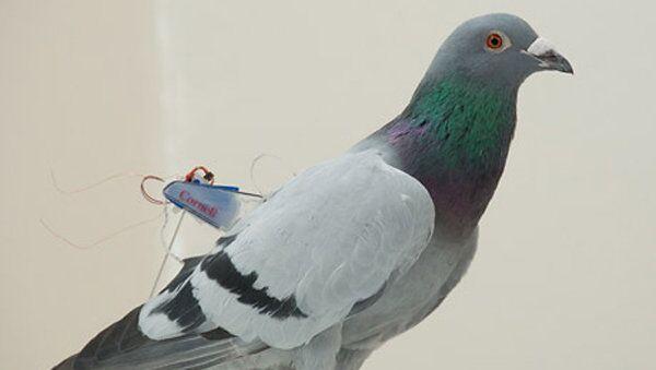 Голубь с устройством, разработанным инженерами из Корнеллского университета