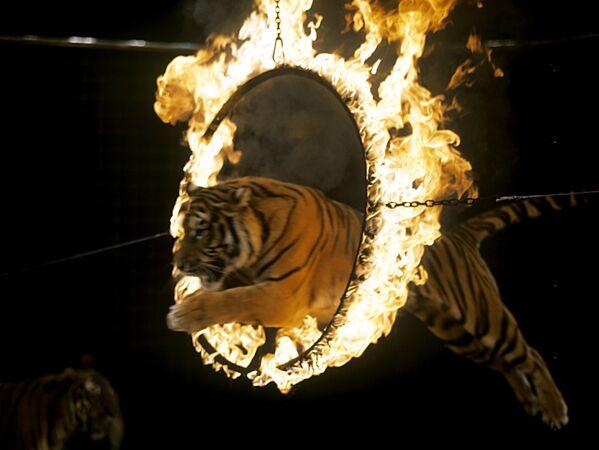 Номер с тиграми
