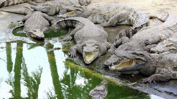 Группа аллигаторов