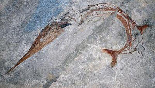 Хорошо сохранившаяся окаменелость древней рыбы Saurichthys curionii позволила ученым найти новый механизм удлинения тела у позвоночных