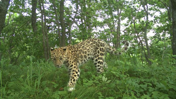 Самка леопарда с детенышем в нацпарке Земля леопарда