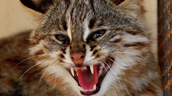 Дальневосточный лесной кот. Архивное фото