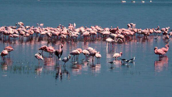 Розовые фламинго, архивное фото