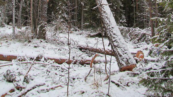 На месте незаконной рубки леса