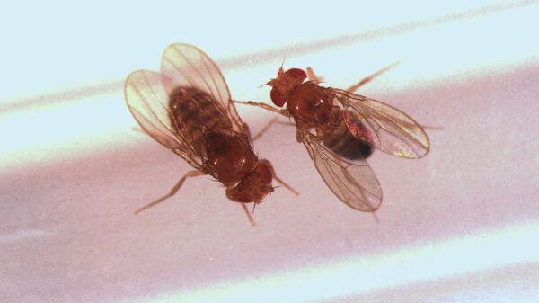 Самец и самка дрозофилы, готовящиеся к спариванию