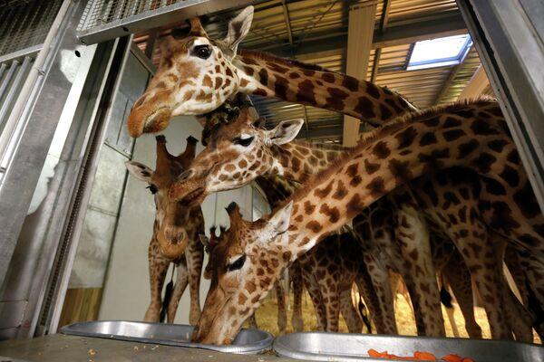 Кормление жирафов