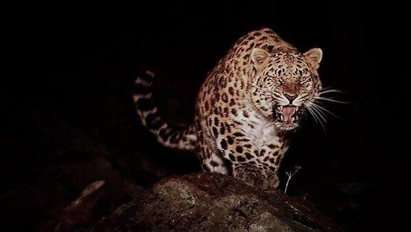 Леопард, архивное фото