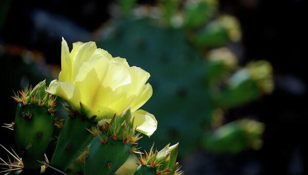 Произрастающий в Мексике кактус нопаль