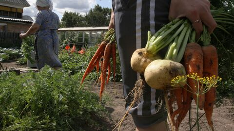 Сбор урожая на дачных участках в Омской области