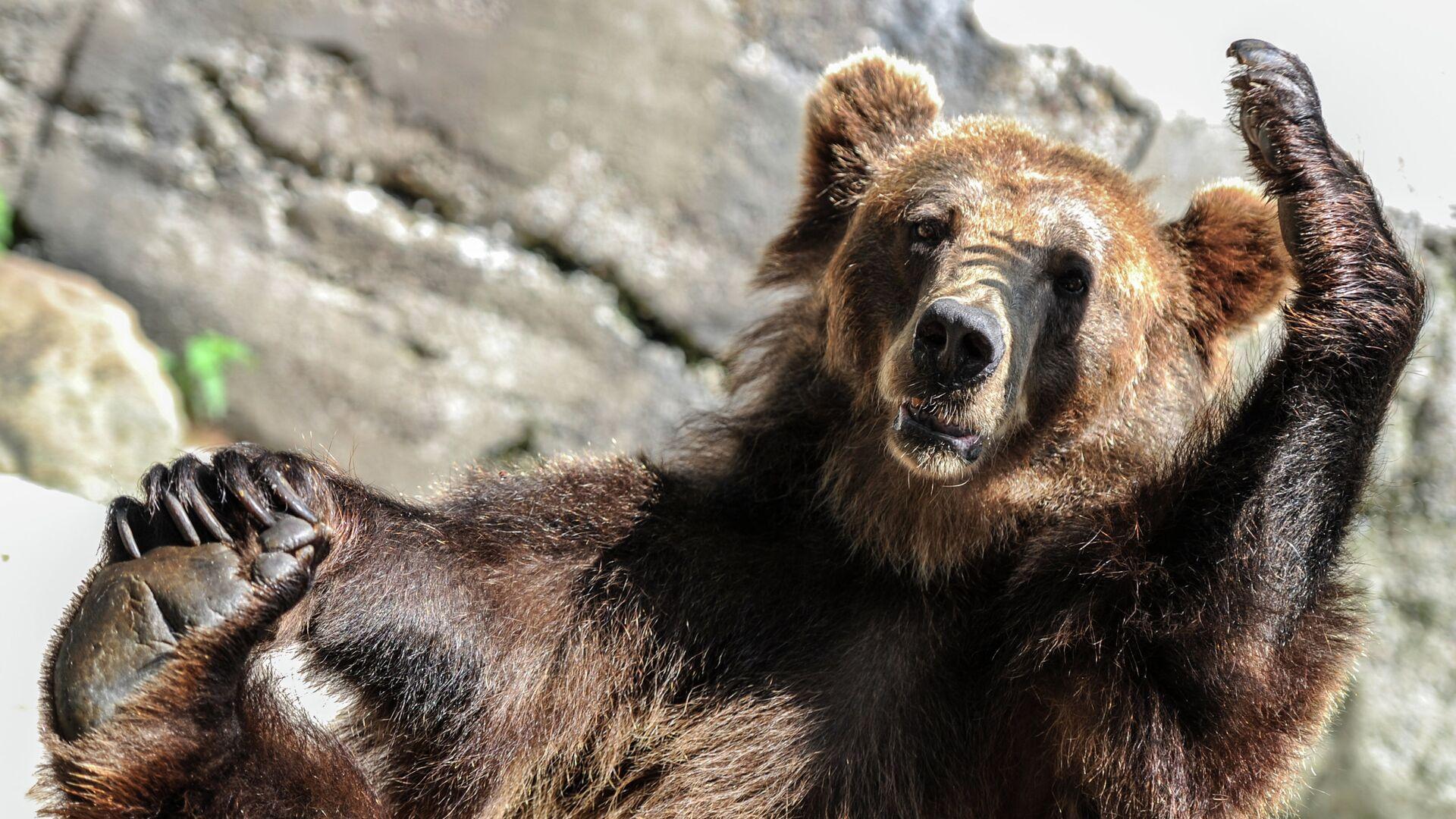 Бурый медведь - РИА Новости, 1920, 05.07.2021