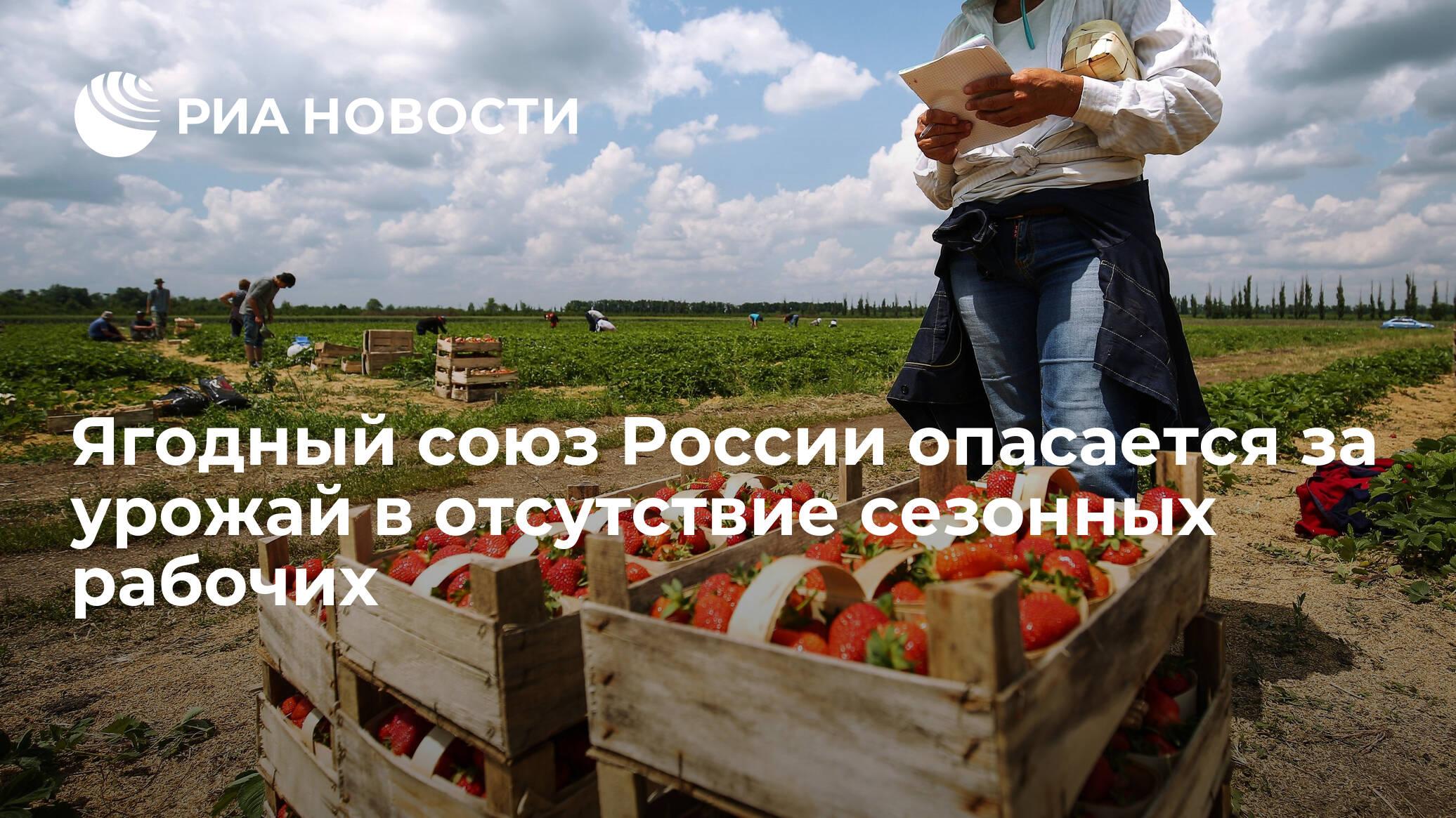 Ягодный союз России опасается за урожай в отсутствие сезонных рабочих